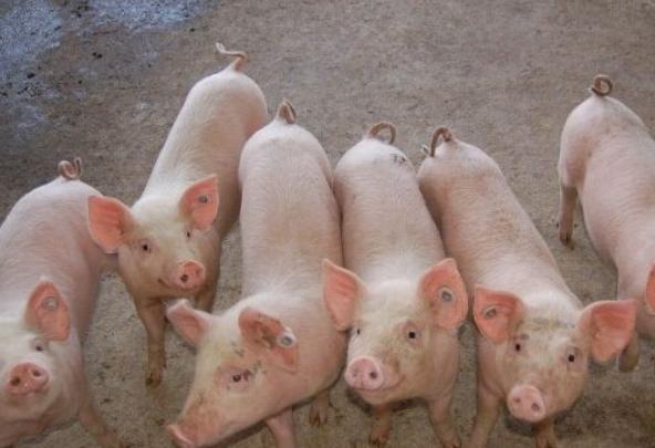 2021年9月5日全国各地(15至19公斤)仔猪今日价格行情