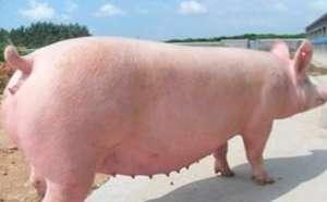 冬季母猪妊娠期饲养管理