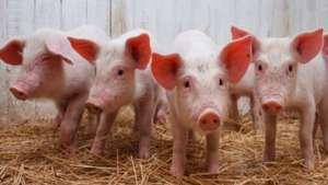 仔猪断奶后容易瘦是什么原因?