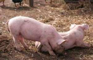 猪异常行为的矫正措施