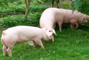 育肥猪最适环境温度