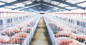 破解集约化养猪场难点的症状