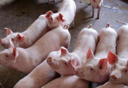 这样配比,提高育肥猪饲料转化率