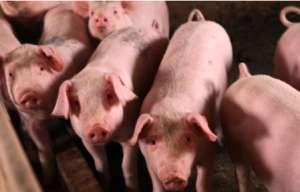 如何降低养猪的隐性成本?