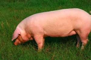 母猪怀孕不容易,妊娠保胎怎么做?