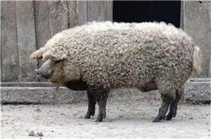 猪场大中小猪都适用免疫方案!