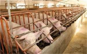 养猪户如何高效的使用饲料?
