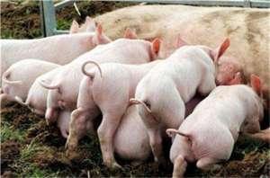 仔猪腹泻的防治方法及兽药该如何选择