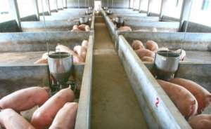 养猪赚不赚钱,猪舍决定一切?