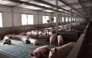 秋冬季节母猪常见疫病的发病原因与防治措施