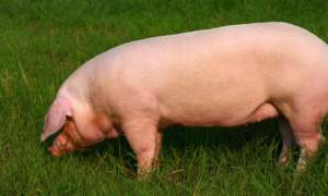 母猪怀孕短期内,不能做的事情有哪些?