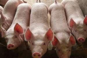 养了很多年的猪,这些小绝招你知道吗?