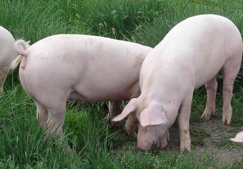 2021年10月3日全国各地今日生猪价格行情:今日猪价涨跌不一