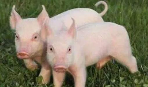 2021年10月3日全国各地(15至19公斤)仔猪今日价格行情走势