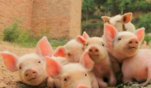 猪病用药:30种常见兽药的用法用量