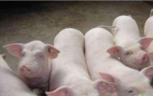 养猪小妙招:如何根据症状看猪病?