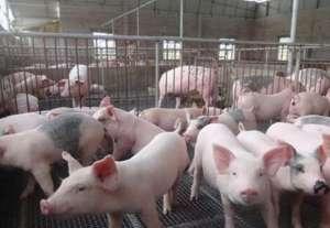 养猪生产中省料有技巧