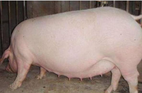 怎样掌握怀孕母猪喂料量?
