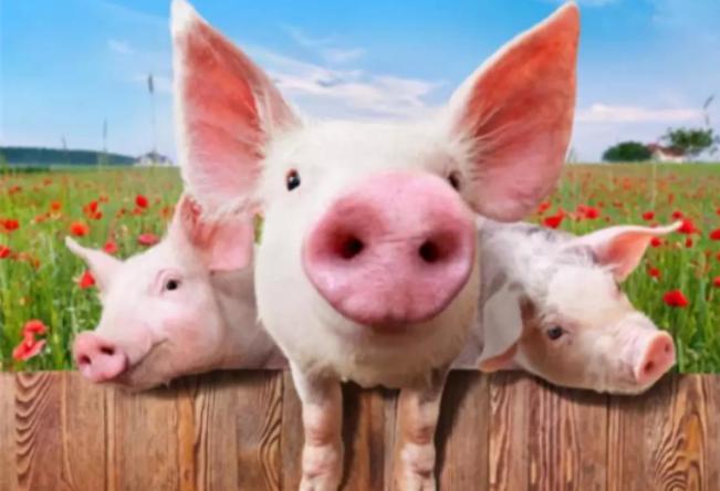 本轮猪周期魔咒 主要原因还是供需关系不平衡所致