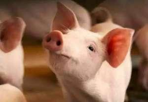 四季度需求旺季 已经成为今年猪市最后的希望