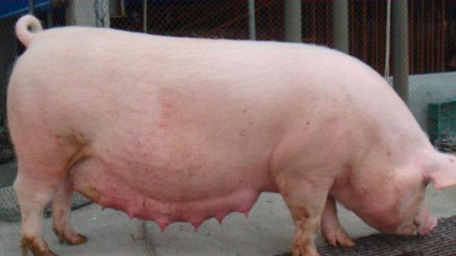 """怀孕母猪""""限饲不当""""会给母猪带来哪些危害?"""
