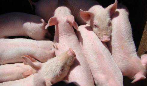 猪喜欢吃什么口味的饲料???