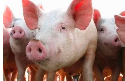 历史复盘:猪周期底部有多长?